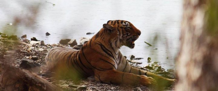 An Encounter with the Vanishing Beauty of Ranthambore