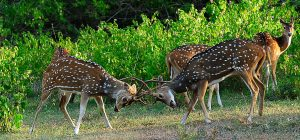 Deer-Fighting-Bandipur-National-Park